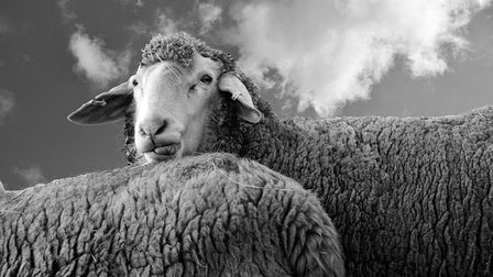Sheep-2125306_640_thumb_main